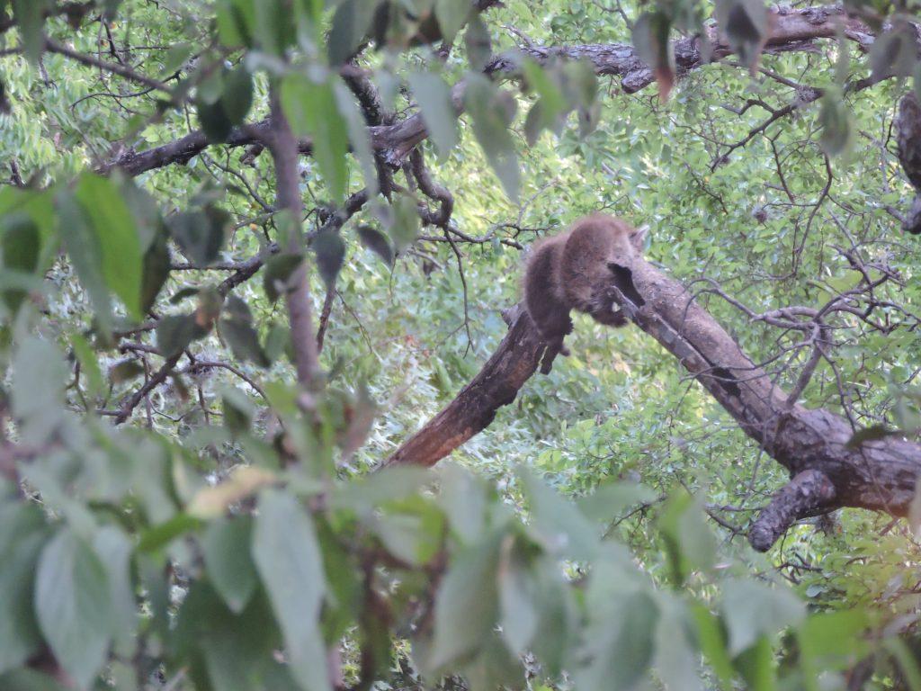 Texas Waschbären im Baum